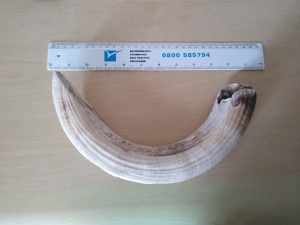 Hippo tooth